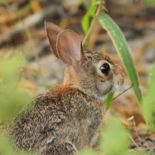 Eastern Cottontail at Oso Bay Wetlands Preserve